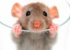 A patkányok okosabbak, mint gondoltuk